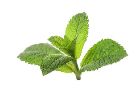 menta: Menta peque�o verde sobre fondo blanco