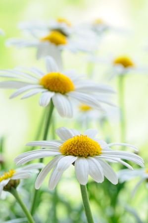 marguerite: Green grass and chamomiles in the nature