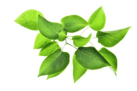 bladeren: groene bladeren geïsoleerd op wit Stockfoto
