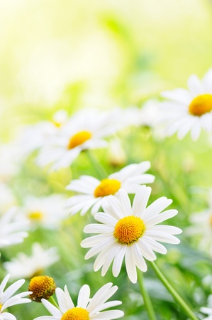 daisy flower: Green grass and chamomiles in the nature