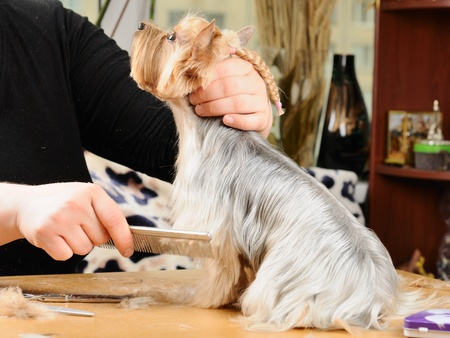 grooming dog: yorkshire terrier getting his hair cut at the groomer Stock Photo