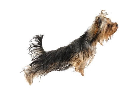 yorky: puppy yorkshire terrier on the white background