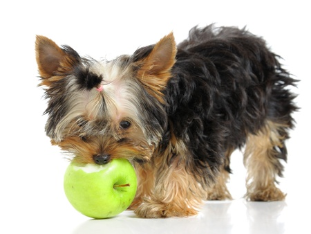 a yorkshire terrier eating a green apple