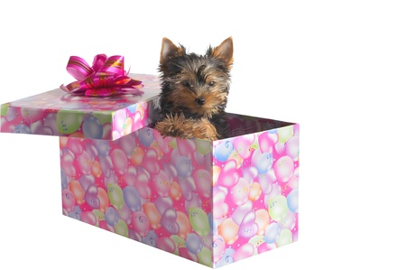 yorky: yorkshire terrier in a box