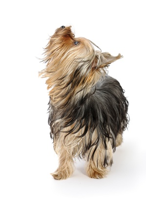 a yorkshire terrier looking upwards photo