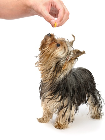 playing with a yorkshire terrier Stock Photo