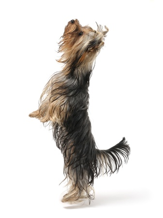 yorkie: a yorkshire terrier standing Stock Photo