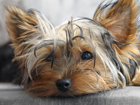 yorkshire terrier Stock Photo - 9989763
