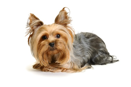 a yorkie laying down facing the camera