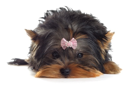 a yorkshire terrier with a pink ribbon photo