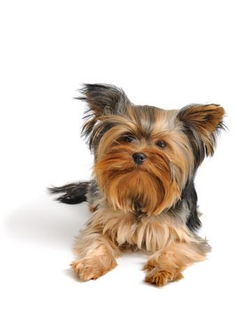 yorky: un yorkshire terrier frente a la c�mara