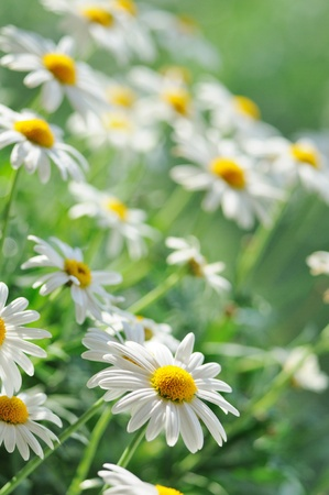 daisy stem: Green grass and chamomiles in the nature
