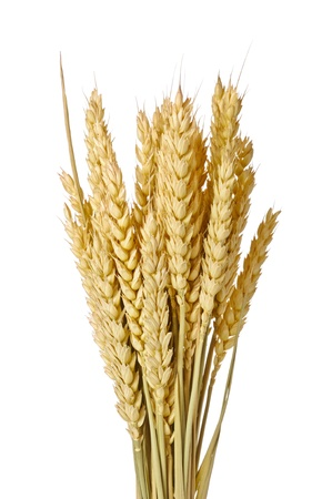 armful: beauty golden wheat on the white background