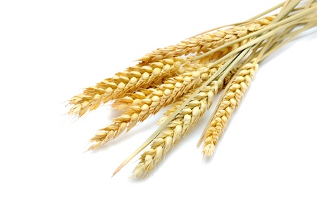 beauty golden wheat on the white background photo