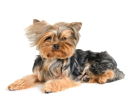 chiot yorkshire terrier sur le fond blanc photo