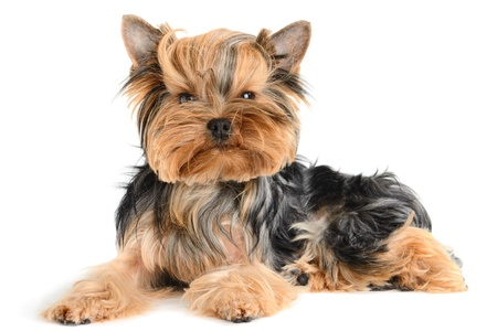 cute yorkshire terrier isolated on  white Stock Photo - 11157966
