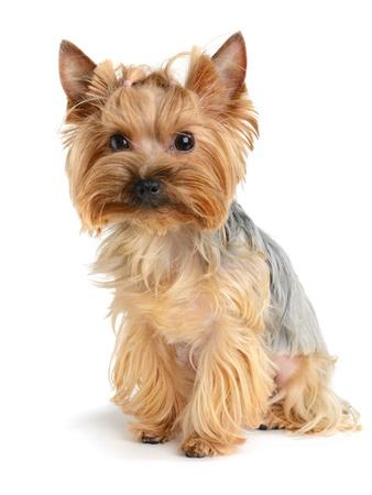 yorky: cute yorkshire terrier aislado en blanco
