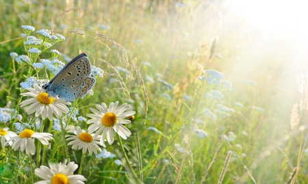medecine: chamomiles and butterfly in the nature