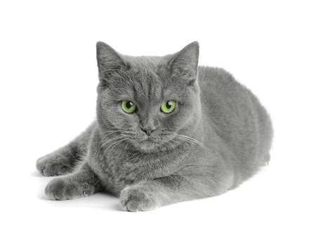grey scottish cat on the white background photo