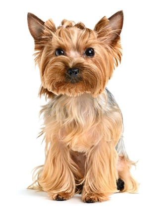 terrier: cute yorkshire terrier isolated on  white