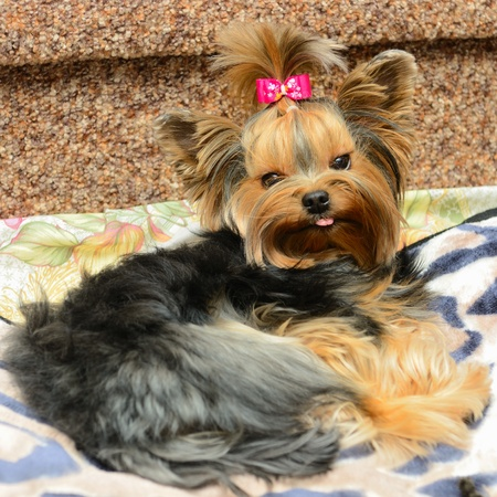 yorky: lindo Yorkshire Terrier en el sof� Foto de archivo