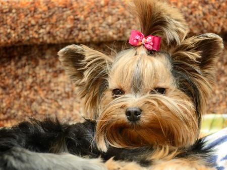 yorky: cute yorkshire terrier en el sof� Foto de archivo