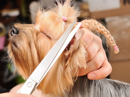 dog grooming: yorkshire terrier getting his hair cut at the groomer Stock Photo