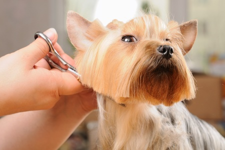 yorkshire terrier getting his hair cut at the groomer Zdjęcie Seryjne