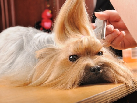 pet grooming: yorkshire terrier getting his hair cut at the groomer Stock Photo