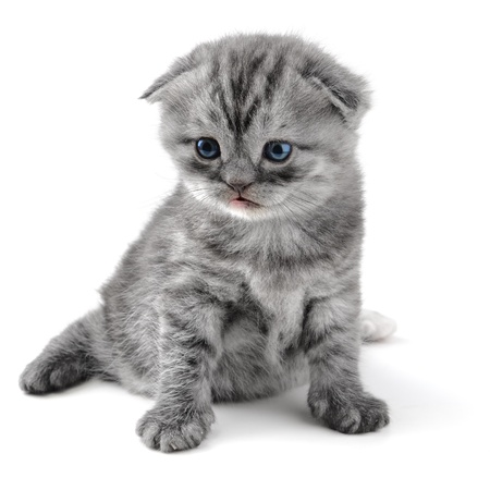 small british  kitten the age of 1 month on the white background Stock Photo - 12453606