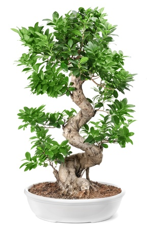 miniature people: bonsai tree Isolated on white background