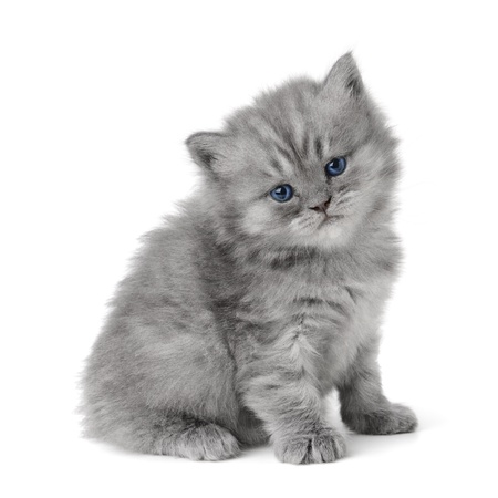 small british  kitten the age of 1 month on the white background Stock Photo