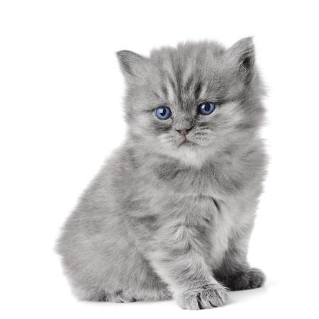 kotek: mały british kitten wieku 1 miesiąca na białym tle