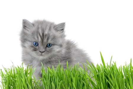 small british  kitten the age of 1 month in the grass photo