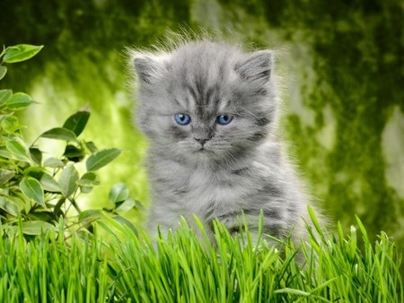 cats playing: small british  kitten the age of 1 month in the grass Stock Photo