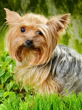 yorky: cute yorkshire terrier on the grass Stock Photo