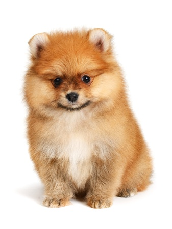 dog grooming: pomeranian puppy the age of 2 month isolated on  white