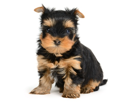yorkshire terrier puppy the age of 1 month isolated on  white Stock Photo - 12881432