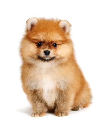closeup puppy: pomeranian puppy the age of 2 month isolated on  white