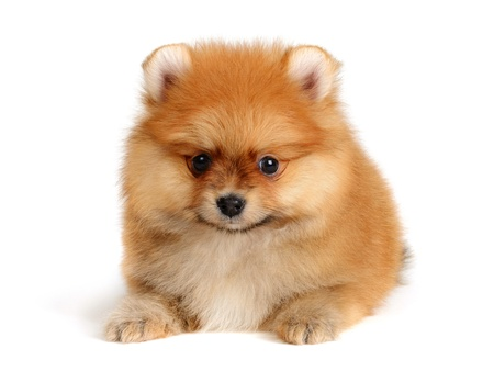 pomeranian puppy the age of 2 month isolated on  white photo
