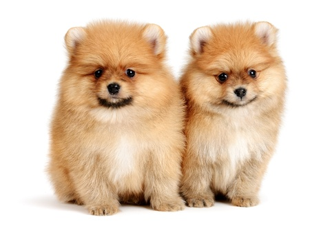 pomeranian: pomeranian puppy the age of 2 month isolated on  white