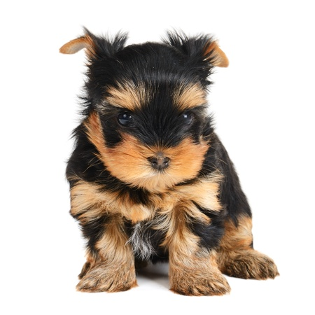 yorky: yorkshire terrier puppy the age of 1 month isolated on  white