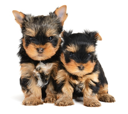 small group: yorkshire terrier puppy the age of 1 month isolated on  white