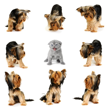 yorkshire terrier team vs one cat photo