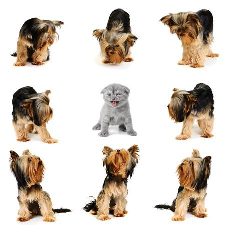 yorkshire terrier team vs one cat photo