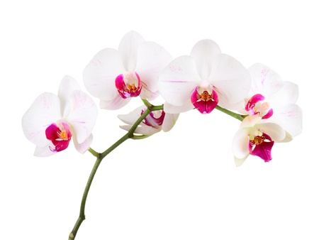 san valentin: orchid on the white background