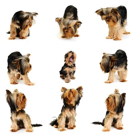 yorky: Los perros miran al centro de