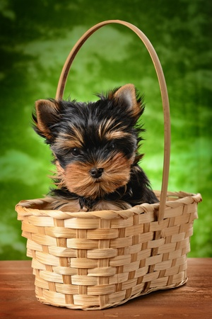 small basket: yorkshire terrier puppy the age of 1 month Stock Photo