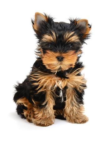 yorky: yorkshire terrier cachorro de la edad de un mes aislado en blanco
