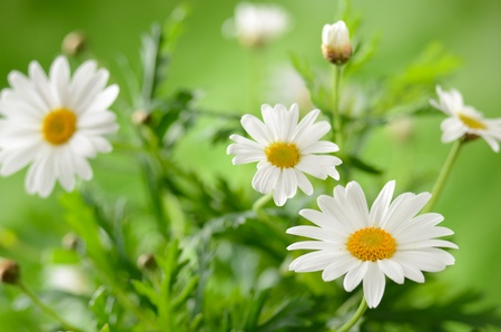 Grünes Gras und Kamille in der Natur